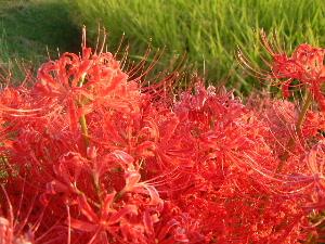 赤い彼岸花 秋の花