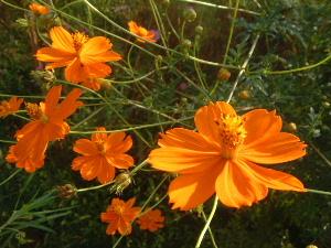 キバナコスモス 秋の花
