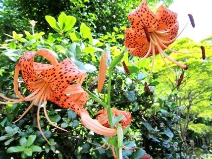 鬼百合の花